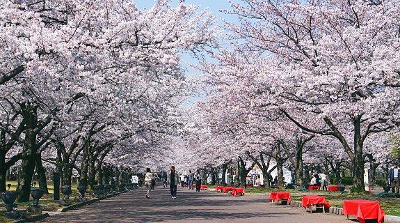 Tokyo cherry blossom poster