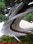 31 Raduno Internazionale Crespi - Bonsai